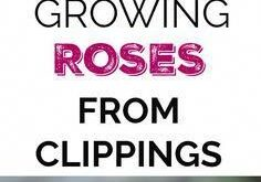 Growing Roses from Cuttings - Gardening Channel